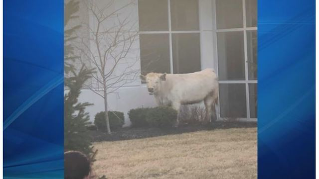 Runaway cow runs to Chick-fil-A for safety