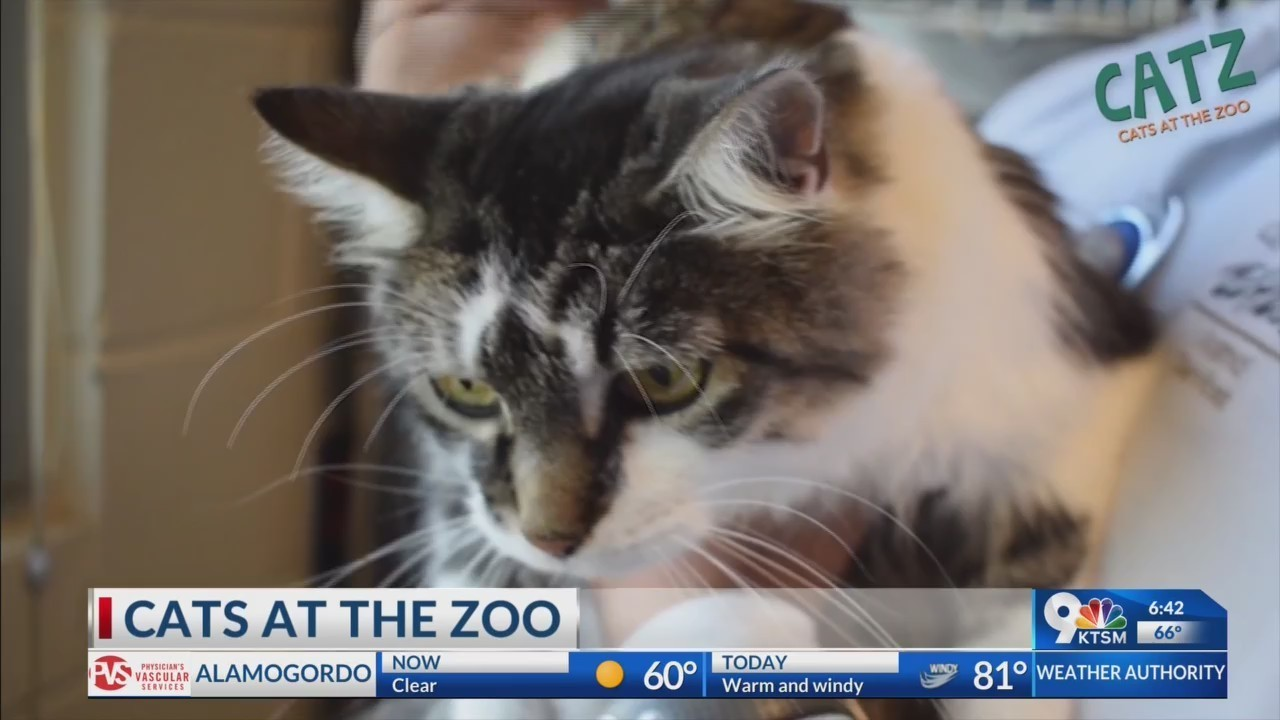 Soon you will be able to take a cat home from the El Paso Zoo